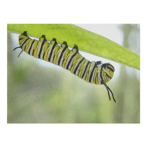 Monarch Butterfly Caterpillar Exploring A Milkweed Posters