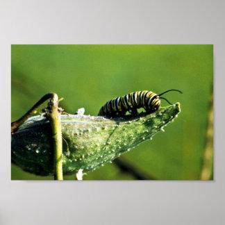 Monarch Butterfly Caterpillar Poster