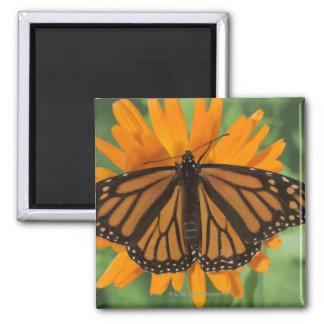Monarch butterfly (Danaus plexippus) on pot 2 Inch Square Magnet