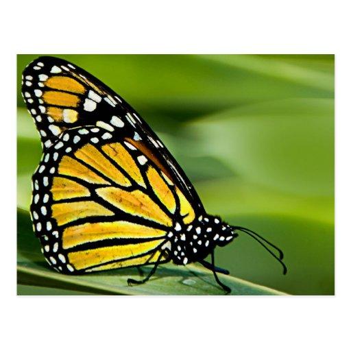 Monarch Butterfly Design Postcard