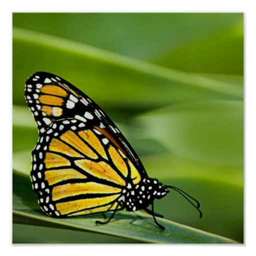 Monarch Butterfly Design Poster