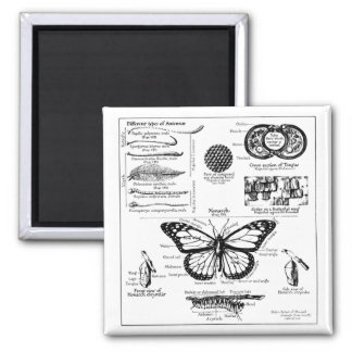 Monarch Butterfly Information 2 Inch Square Magnet