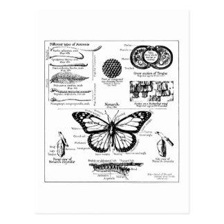 Monarch Butterfly Information Postcard