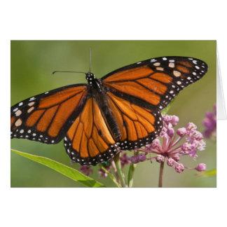 Monarch Butterfly male on Swamp Milkweed Card