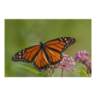 Monarch Butterfly male on Swamp Milkweed Poster