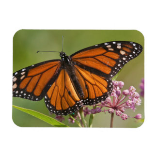 Monarch Butterfly male on Swamp Milkweed Rectangular Photo Magnet