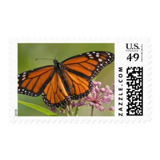 Monarch Butterfly male on Swamp Milkweed Stamp