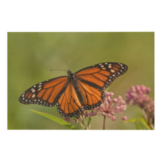 Monarch Butterfly male on Swamp Milkweed Wood Wall Art