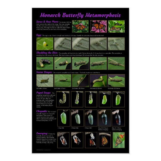 Monarch Butterfly Metamorphosis Education Poster Zazzle Com