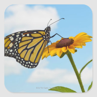 Monarch Butterfly on a Black Eyed Susan Square Sticker