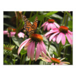Monarch Butterfly on Coneflower Photo Print Photograph