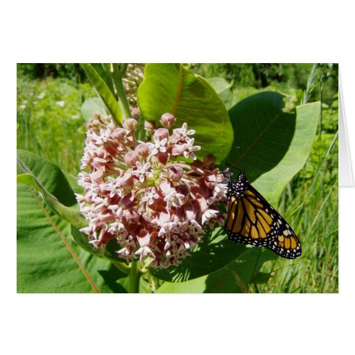Monarch Butterfly on Milkweed Photo Card