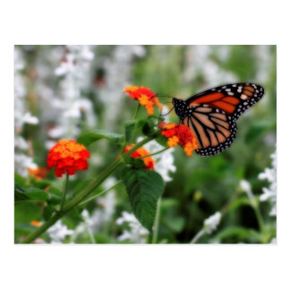 Monarch Butterfly on Orange and Red Lantana Postcard