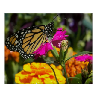 Monarch butterfly on pink marigold-poster poster