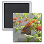 Monarch Butterfly on Red Butterfly Bush 2 Inch Square Magnet
