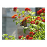 Monarch Butterfly on Red Butterfly Bush Nature Photo Print