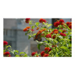 Monarch Butterfly on Red Butterfly Bush Poster