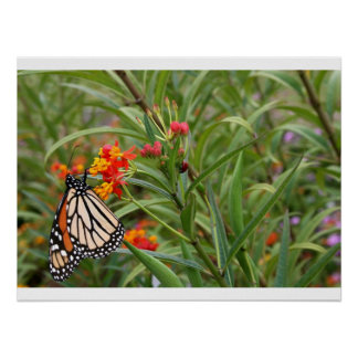 Monarch butterfly on red orange flower plant posters