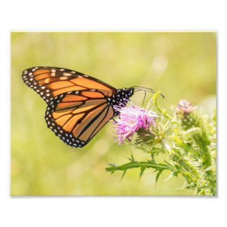 Monarch Butterfly on Thistle Photo Print
