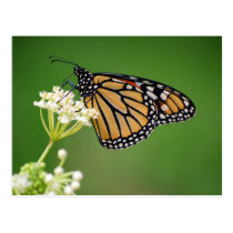 Monarch Butterfly on White Swamp Milkweed Postcard