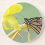 Monarch butterfly on yellow flower simple back coaster