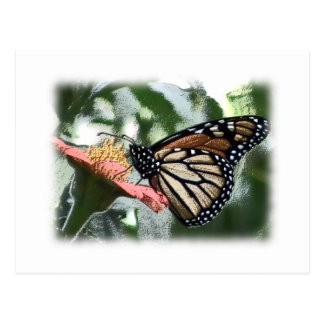 Monarch Butterfly Picture Postcard