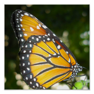Monarch Butterfly Poster Print