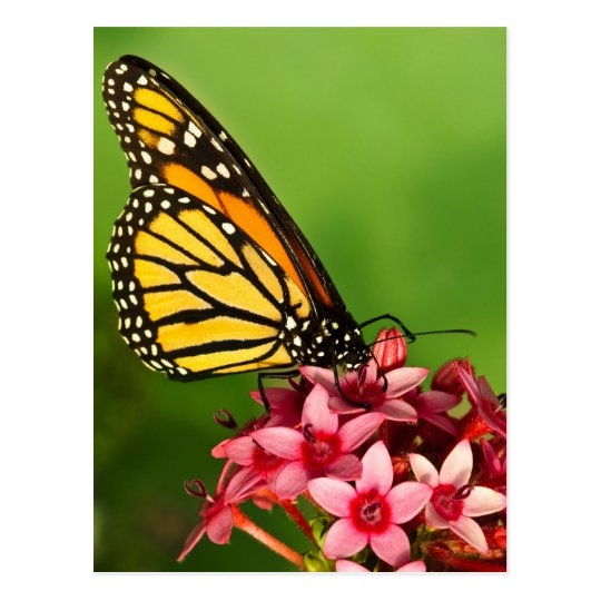 Monarch Butterfly  Side View Vibrant Photograph Postcard