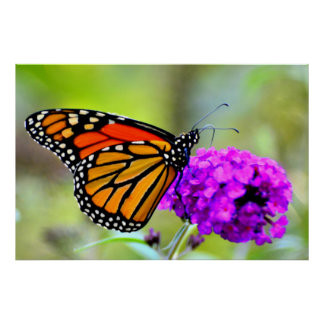 Monarch Butterfly snacking on nectar- photo poster