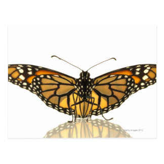 Monarch butterfly with wings spread postcard