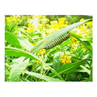 Monarch Caterpillar (Danaus plexippus) Postcard