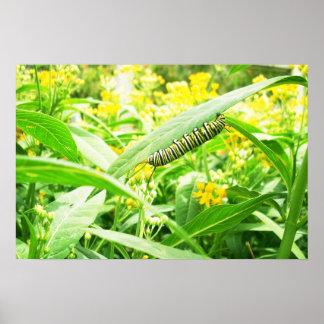 Monarch caterpillar feeding on milkweed poster