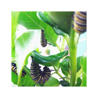 Monarch Caterpillar Munching Canvas Print