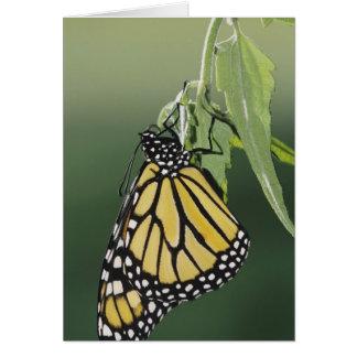 Monarch, Danaus plexippus, adult newly emerged Card
