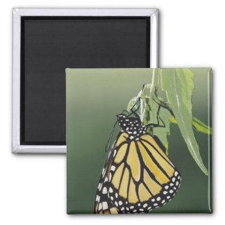 Monarch, Danaus plexippus, adult newly emerged 2 Inch Square Magnet