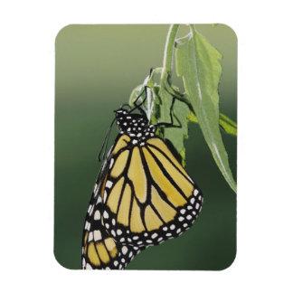 Monarch, Danaus plexippus, adult newly emerged Rectangular Photo Magnet