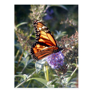 Monarch in Manchester Post Card