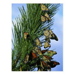 Monarch migration postcard