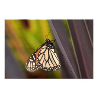 Monarch on Agave Photograph
