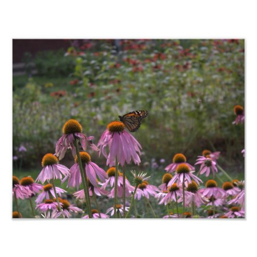Monarch on Aster Photo Print