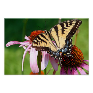 Monarch on Coneflowers Poster