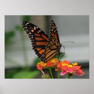 Monarch on Lantana Poster