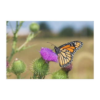 Monarch on pasture Thistle Prairie Ridge Canvas Print
