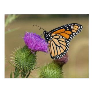Monarch on pasture Thistle Prairie Ridge Postcard