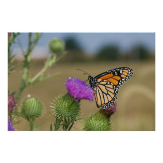 Monarch on pasture Thistle Prairie Ridge Poster