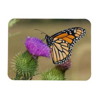 Monarch on pasture Thistle Prairie Ridge Rectangular Photo Magnet