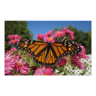 Monarch Wings Posters