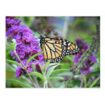 Monarch with Purple Flowers Postcard