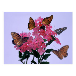 Monarchs and Pink Penta Postcard