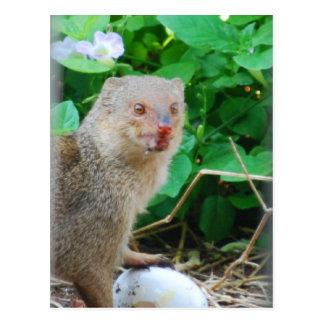 Mongoose in Hawaii Postcard